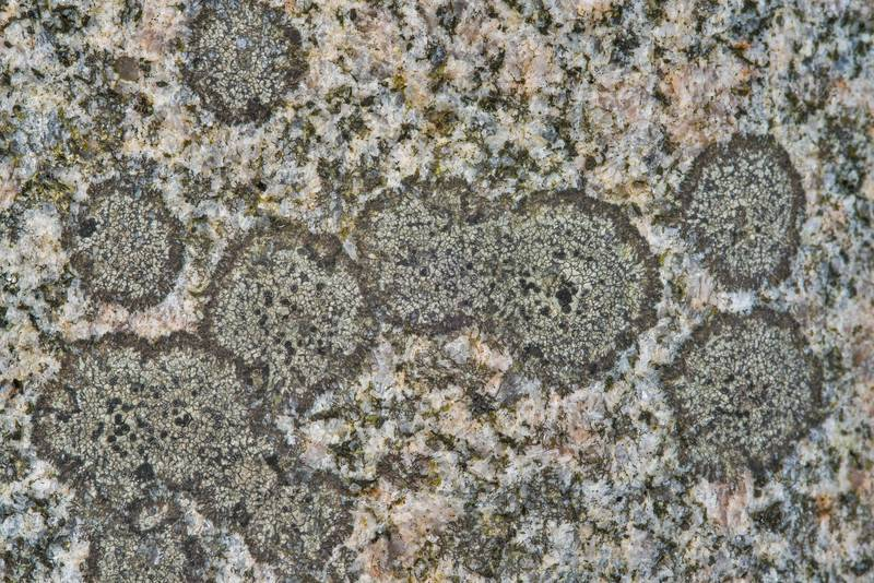 Close up of button lichen (Buellia) on a polished granite surface of Bible on a tomb in Odd Fellow Cemetery. Anderson, Texas, December 31, 2018