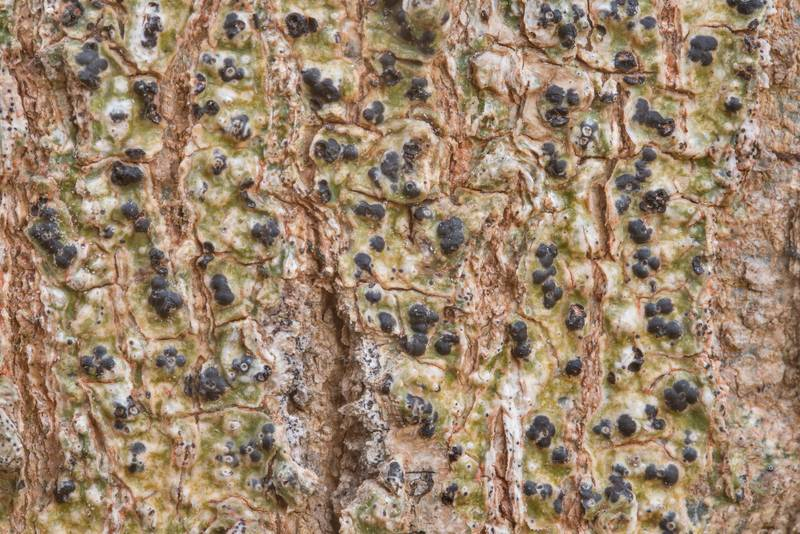 Speckled blister lichen Trypethelium tropicum on bark of hackberry tree in Lick Creek Park. College Station, Texas, January 1, 2019