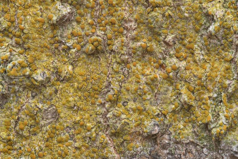 "Texture of bark sulphur-firedot lichen (<B>Caloplaca flavorubescens</B>) on bark of hackberry tree in Lick Creek Park. College Station, Texas, <A HREF=""../date-en/2019-01-01.htm"">January 1, 2019</A>"