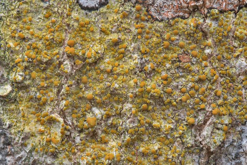 "Pattern of bark sulphur-firedot lichen (<B>Caloplaca flavorubescens</B>) on bark of hackberry tree in Lick Creek Park. College Station, Texas, <A HREF=""../date-en/2019-01-01.htm"">January 1, 2019</A>"