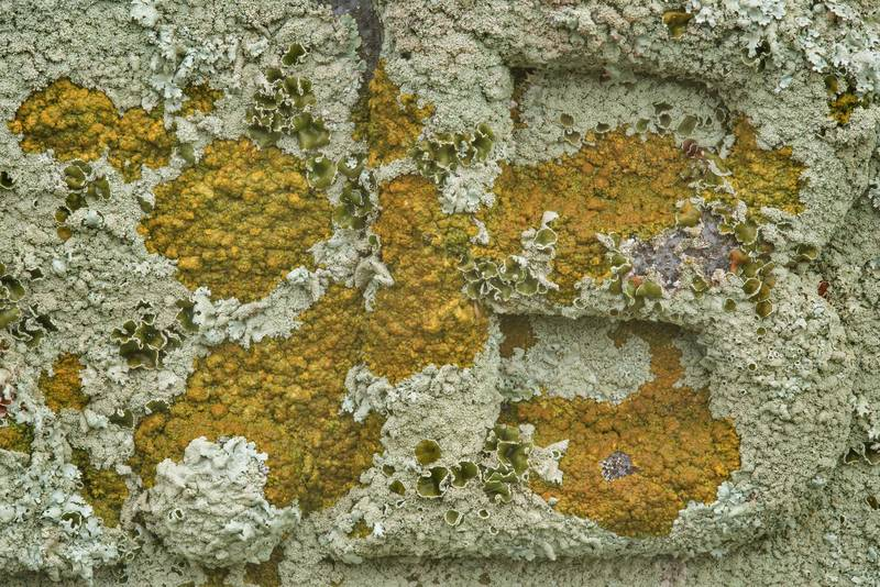 "Peppered rock-shield lichen (<B>Xanthoparmelia conspersa</B>) and firedot lichen Caloplaca on a tomb in City Cemetery. Bryan, Texas, <A HREF=""../date-en/2019-01-03.htm"">January 3, 2019</A>"