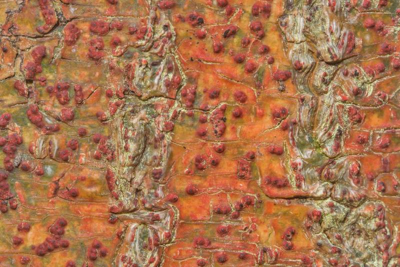 Crimson warts of bark rash lichen (Pyrenula cruenta) on a tree near the creek in Big Creek Scenic Area of Sam Houston National Forest. Shepherd, Texas, January 5, 2019