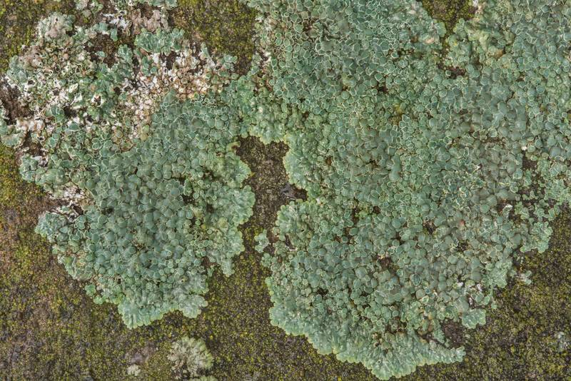 Stonewall rim-lichen (Lecanora muralis) on a horizontal surface of a tomb in Calvert Cemetery. Calvert, Texas, January 8, 2019
