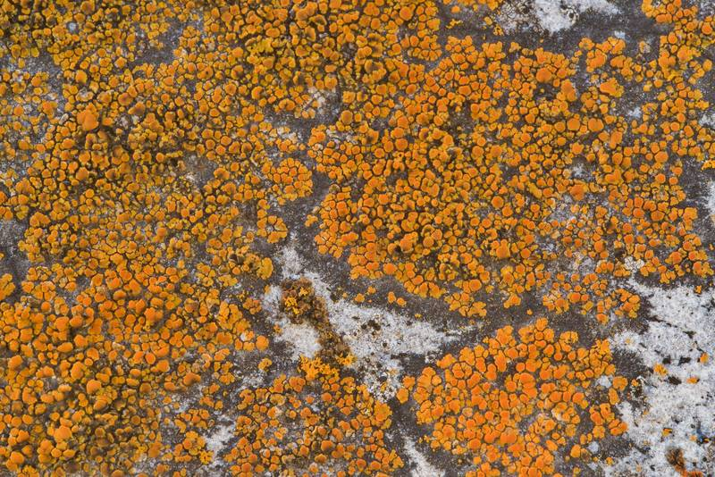 Firedot lichen Caloplaca subsoluta (Caloplaca irrubescens) on a granite tombstone in old Port Sullivan cemetery, west from Hearne. Texas, January 8, 2019