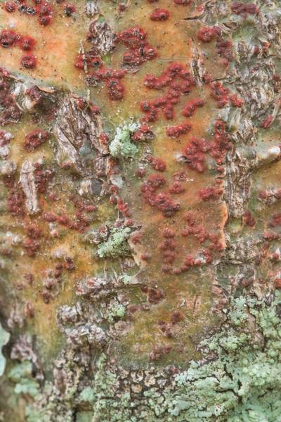 Bark rash lichen (Pyrenula cruenta) on hackberry in Lick Creek Park. College Station, Texas, January 9, 2019