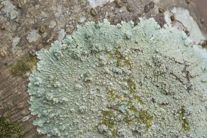 Powdery medallion lichen (Dirinaria applanata) in Lick Creek Park. College Station, Texas, January 9, 2019