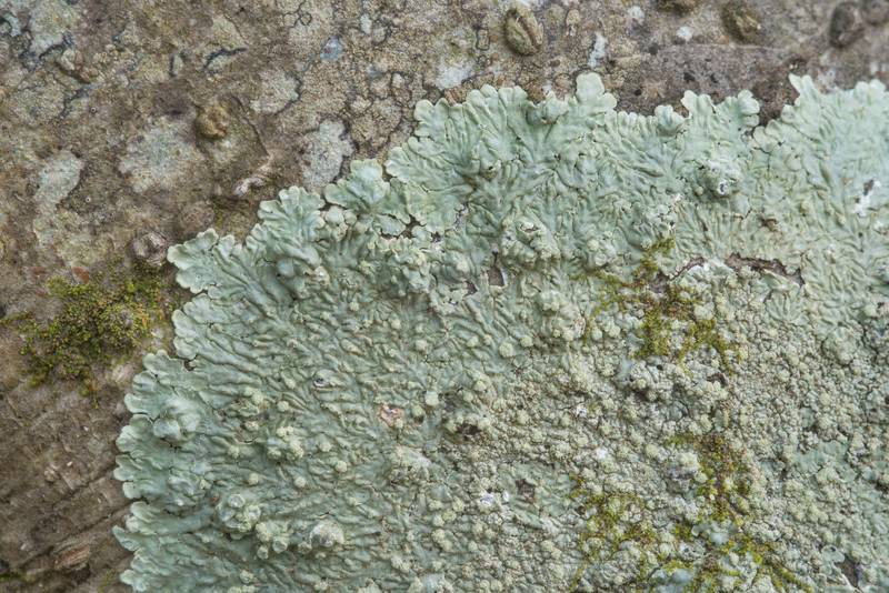 Powdery medallion lichen (Dirinaria applanata) on a small hackberry tree in Lick Creek Park. College Station, Texas, January 9, 2019