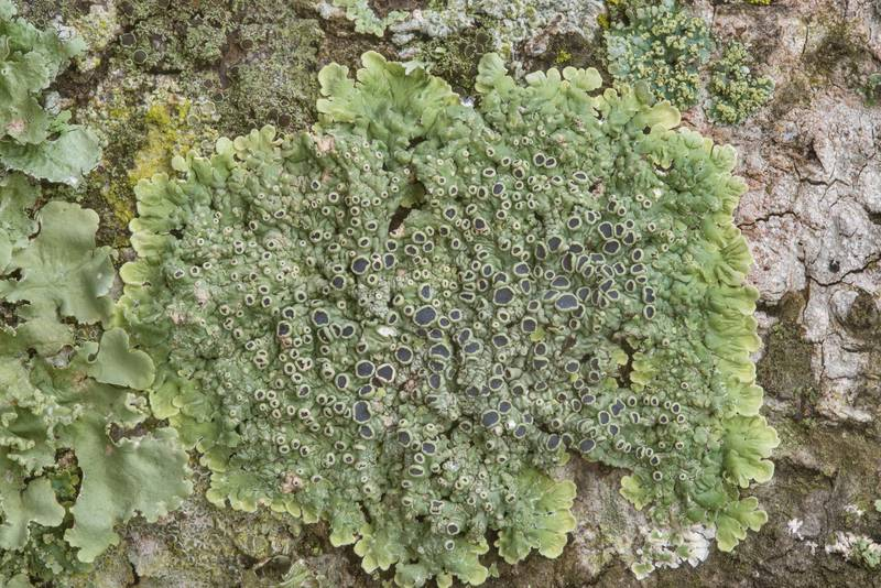 "Medallion lichen (<B>Dirinaria confusa</B>) on an oak in Washington-on-the-Brazos State Historic Site. Washington, Texas, <A HREF=""../date-en/2019-01-12.htm"">January 12, 2019</A>"