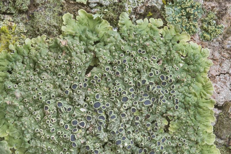 "Close up of medallion lichen (<B>Dirinaria confusa</B>) on an oak in Washington-on-the-Brazos State Historic Site. Washington, Texas, <A HREF=""../date-en/2019-01-12.htm"">January 12, 2019</A>"
