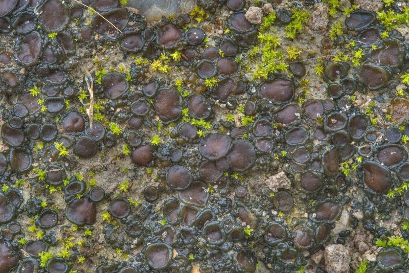 "Tar-jelly lichen (<B>Collema tenax</B>) on a trodden path in David E. Schob Nature Preserve at 906 Ashburn Street. College Station, Texas, <A HREF=""../date-en/2019-01-15.htm"">January 15, 2019</A>"