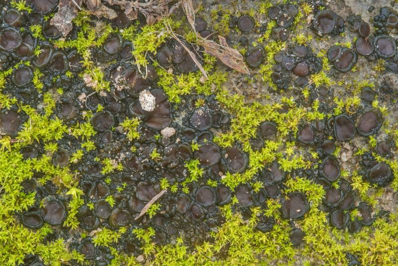 "Tar-jelly lichen (<B>Collema tenax</B>) with moss on a trodden path in David E. Schob Nature Preserve at 906 Ashburn Street. College Station, Texas, <A HREF=""../date-en/2019-01-15.htm"">January 15, 2019</A>"
