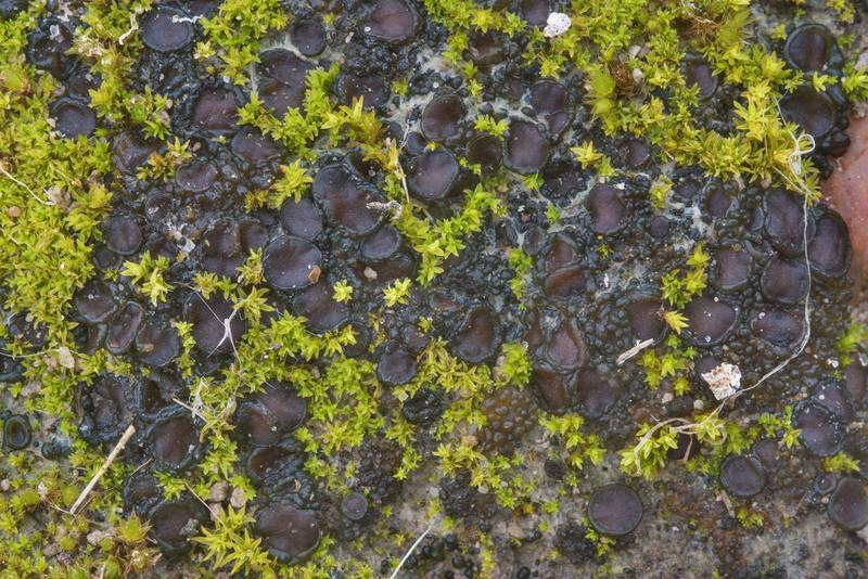 "Brown disks of apothecia of tar-jelly lichen (<B>Collema tenax</B>) on a trodden path in David E. Schob Nature Preserve at 906 Ashburn Street. College Station, Texas, <A HREF=""../date-en/2019-01-15.htm"">January 15, 2019</A>"