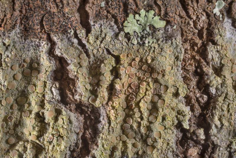 "Mealy rim-lichen (<B>Lecanora strobilina</B>) on bark of oak in Lick Creek Park. College Station, Texas, <A HREF=""../date-en/2019-01-18.htm"">January 18, 2019</A>"