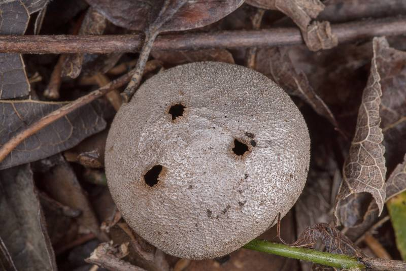 "Pepper pot earthstar mushroom (<B>Myriostoma coliforme</B>) under small cedar elm trees in Washington-on-the-Brazos State Historic Site. Washington, Texas, <A HREF=""../date-en/2019-01-23.htm"">January 23, 2019</A>"