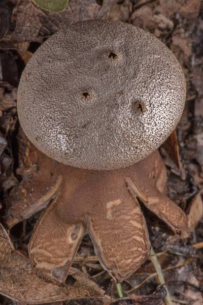 "Pepper pot earthstar mushroom (<B>Myriostoma coliforme</B>) among dry leaves in Washington-on-the-Brazos State Historic Site. Washington, Texas, <A HREF=""../date-en/2019-01-23.htm"">January 23, 2019</A>"