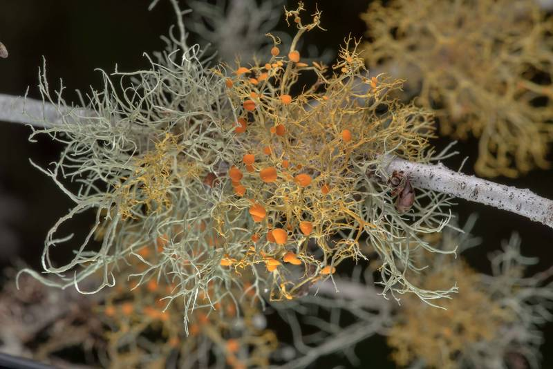 "Slender orange bush lichen (<B>Teloschistes exilis</B>) on a thin oak branch in Washington-on-the-Brazos State Historic Site. Washington, Texas, <A HREF=""../date-en/2019-01-23.htm"">January 23, 2019</A>"
