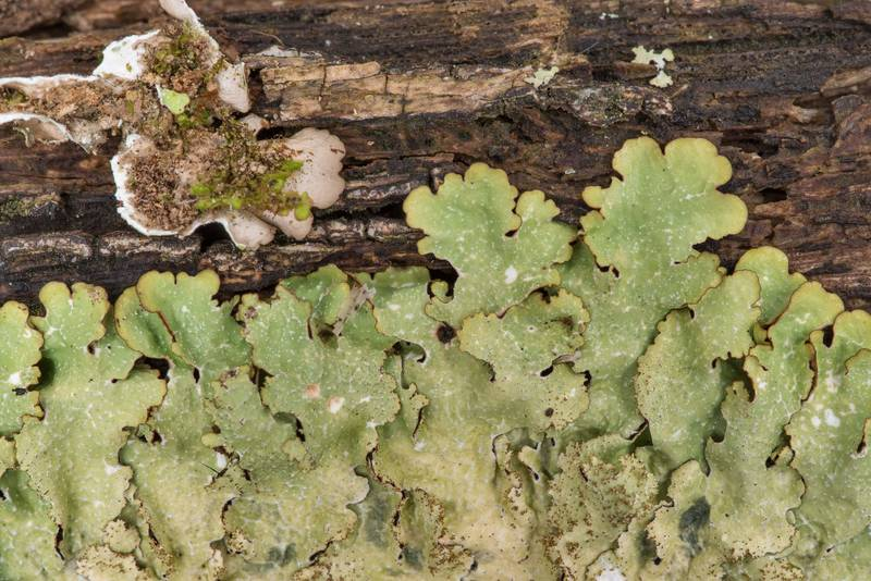 "Rough speckled shield lichen (<B>Punctelia rudecta</B>) on a fallen oak at Lake Somerville Trailway near Birch Creek Unit of Somerville Lake State Park. Texas, <A HREF=""../date-en/2019-01-25.htm"">January 25, 2019</A>"