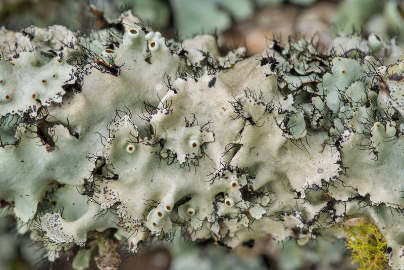 "Perforated ruffle lichen (<B>Parmotrema perforatum</B>) on a fallen oak branch at Lake Somerville Trailway near Birch Creek Unit of Somerville Lake State Park. Texas, <A HREF=""../date-en/2019-01-25.htm"">January 25, 2019</A>"