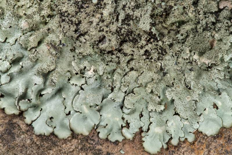 "Peppered rock-shield lichen <B>Xanthoparmelia conspersa</B> on sandstone outcrop at the road descent at Lake Somerville Trailway near Birch Creek Unit of Somerville Lake State Park. Texas, <A HREF=""../date-en/2019-01-25.htm"">January 25, 2019</A>"