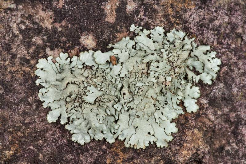 "Young patch of peppered rock-shield lichen <B>Xanthoparmelia conspersa</B> on sandstone outcrop at the road descent at Lake Somerville Trailway near Birch Creek Unit of Somerville Lake State Park. Texas, <A HREF=""../date-en/2019-01-25.htm"">January 25, 2019</A>"