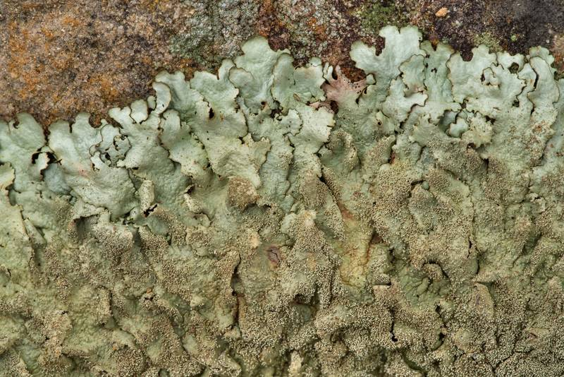"Peppered rock-shield lichen <B>Xanthoparmelia conspersa</B> with soredia on sandstone outcrops in an oak and red cedar forest at Lake Somerville Trailway near Birch Creek Unit of Somerville Lake State Park. Texas, <A HREF=""../date-en/2019-01-25.htm"">January 25, 2019</A>"