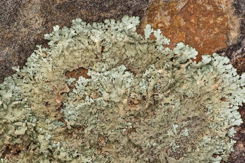"Peppered rock-shield lichen <B>Xanthoparmelia conspersa</B> covering sandstone in an oak and red cedar forest at Lake Somerville Trailway near Birch Creek Unit of Somerville Lake State Park. Texas, <A HREF=""../date-en/2019-01-25.htm"">January 25, 2019</A>"