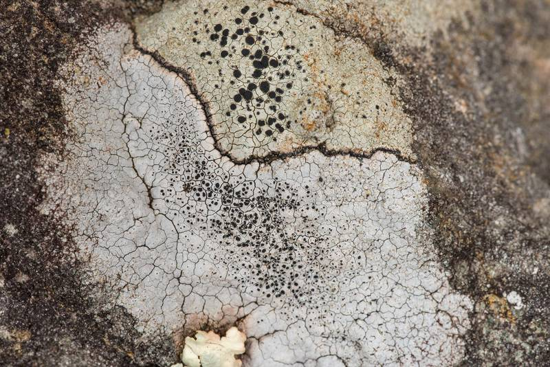 "Sunken rim-lichen (<B>Lecanora oreinoides</B>) or may be Aspicilia on sandstone outcrops in an oak and red cedar forest at Lake Somerville Trailway near Birch Creek Unit of Somerville Lake State Park. Texas, <A HREF=""../date-en/2019-01-25.htm"">January 25, 2019</A>"