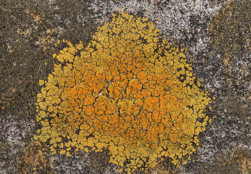 "Firedot lichen <B>Caloplaca squamosa</B> on sandstone outcrops in an oak and red cedar forest at Lake Somerville Trailway near Birch Creek Unit of Somerville Lake State Park. Texas, <A HREF=""../date-en/2019-01-25.htm"">January 25, 2019</A>"