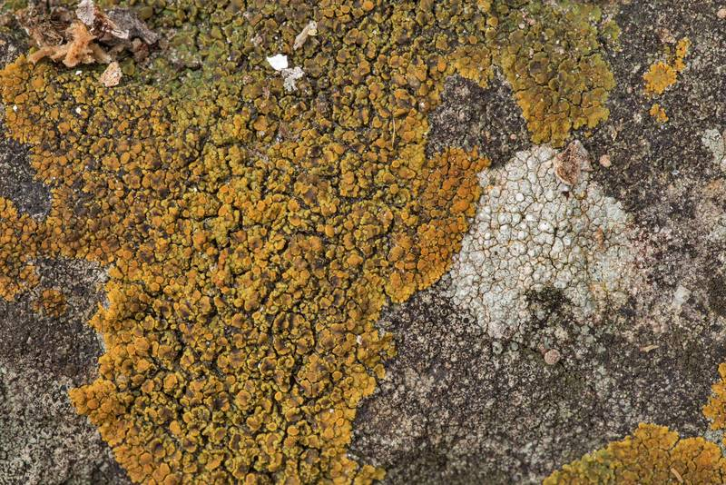 "Firedot lichen <B>Caloplaca squamosa</B> and other lichens on sandstone outcrops in an oak and red cedar forest at Lake Somerville Trailway near Birch Creek Unit of Somerville Lake State Park. Texas, <A HREF=""../date-en/2019-01-25.htm"">January 25, 2019</A>"