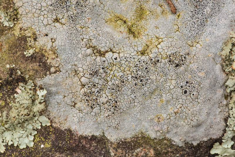 "White crust of sunken rim-lichen (<B>Lecanora oreinoides</B>) on sandstone outcrops in an oak and red cedar forest at Lake Somerville Trailway near Birch Creek Unit of Somerville Lake State Park. Texas, <A HREF=""../date-en/2019-01-25.htm"">January 25, 2019</A>"