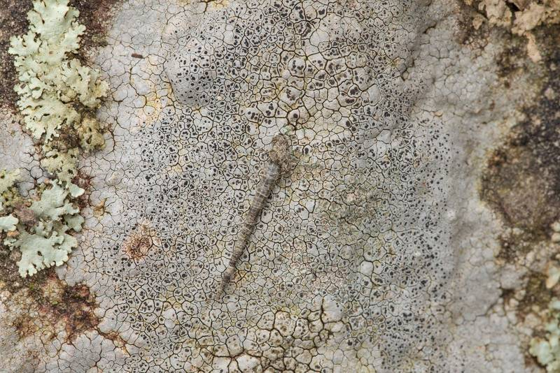 "Texture of sunken rim-lichen (<B>Lecanora oreinoides</B>) on sandstone outcrops in an oak and red cedar forest at Lake Somerville Trailway near Birch Creek Unit of Somerville Lake State Park. Texas, <A HREF=""../date-en/2019-01-25.htm"">January 25, 2019</A>"