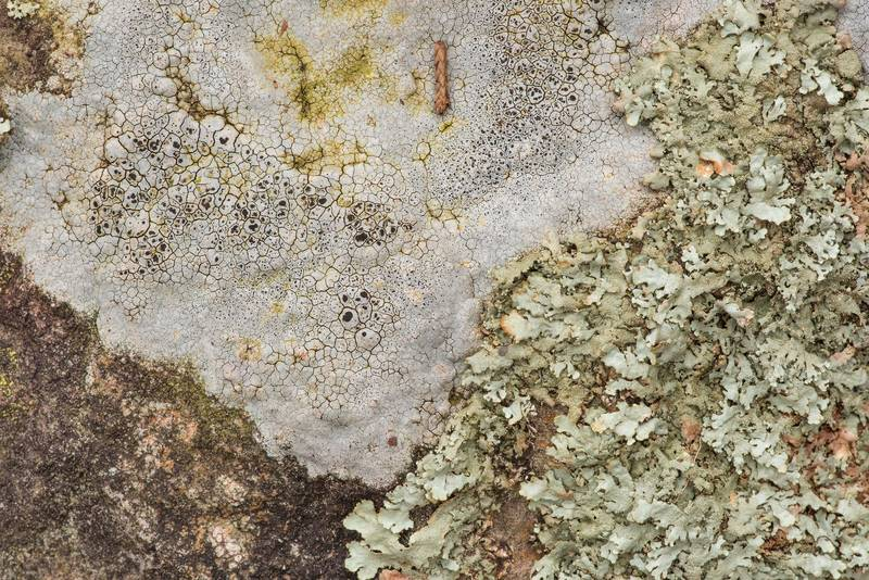 "Sunken rim-lichen (Lecanora oreinoides) and peppered rock-shield lichen (<B>Xanthoparmelia conspersa</B>) on sandstone outcrops in an oak and red cedar forest at Lake Somerville Trailway near Birch Creek Unit of Somerville Lake State Park. Texas, <A HREF=""../date-en/2019-01-25.htm"">January 25, 2019</A>"