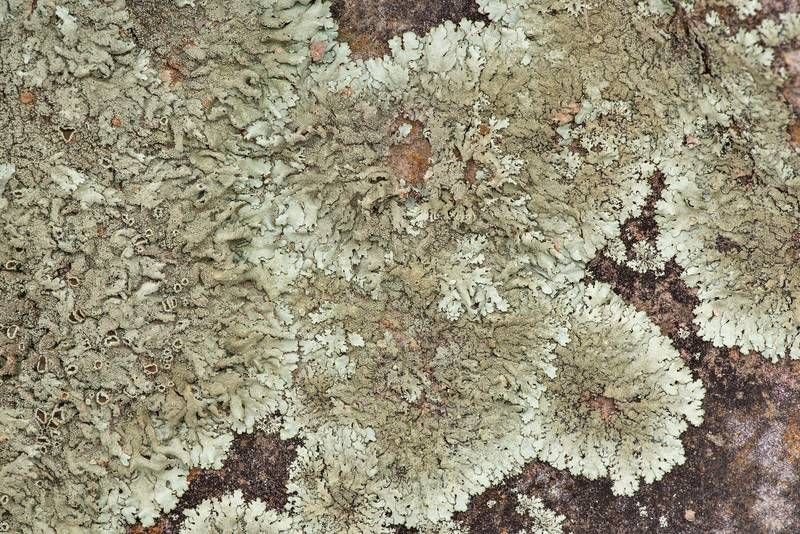 "Peppered rock-shield lichen (<B>Xanthoparmelia conspersa</B>) on a rock at Lake Somerville Trailway near Birch Creek Unit of Somerville Lake State Park. Texas, <A HREF=""../date-en/2019-01-25.htm"">January 25, 2019</A>"