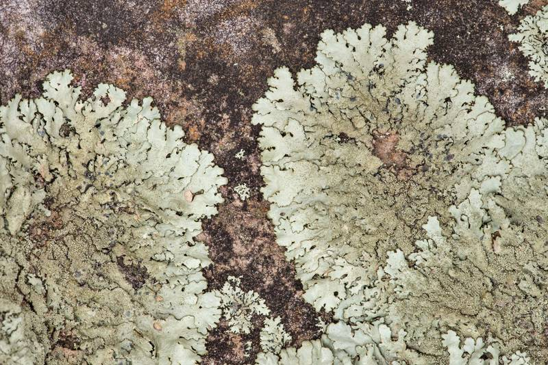 "Rosettes of peppered rock-shield lichen (<B>Xanthoparmelia conspersa</B>) on sandstone at Lake Somerville Trailway near Birch Creek Unit of Somerville Lake State Park. Texas, <A HREF=""../date-en/2019-01-25.htm"">January 25, 2019</A>"