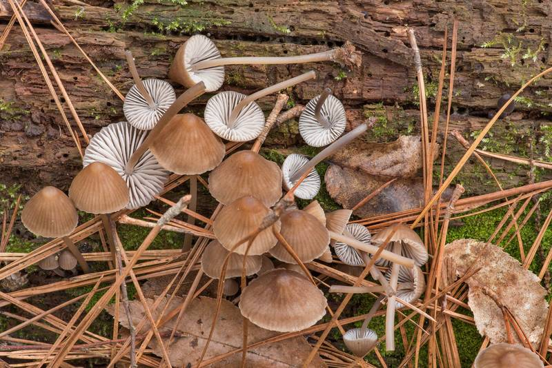 "Stump fairy helmet mushrooms (<B>Mycena alcalina</B>) on a rotting pine log on Caney Creek Trail (Little Lake Creek Loop Trail) in Sam Houston National Forest near Huntsville. Texas, <A HREF=""../date-en/2019-01-26.htm"">January 26, 2019</A>"