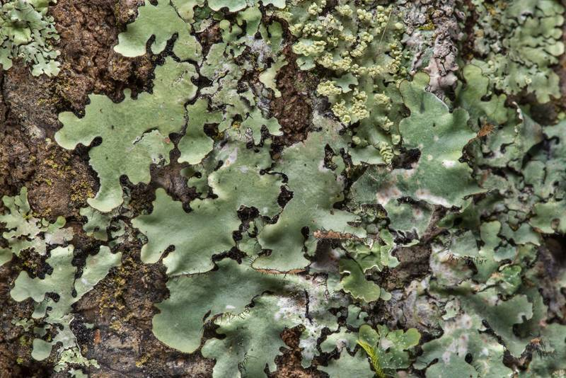 "Cracked ruffle lichen (<B>Parmotrema reticulatum</B>, Rimelia reticulata) on Caney Creek section of Lone Star Hiking Trail in Sam Houston National Forest near Huntsville. Texas, <A HREF=""../date-en/2019-01-26.htm"">January 26, 2019</A>"