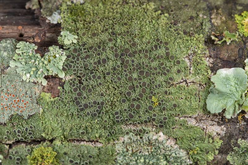 Smooth shadow-crust lichen (Hyperphyscia syncolla) and other lichens on lower branches of old acacia (huisache) between Signature Park 11 apartments and Oil Well near Park Hudson Trail. Bryan, Texas, January 27, 2019