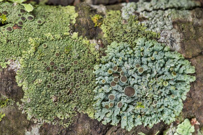 Hyperphyscia syncolla and Physcia lichens on lower branches of old acacia (huisache) between Signature Park 11 apartments and Oil Well near Park Hudson Trail. Bryan, Texas, January 27, 2019