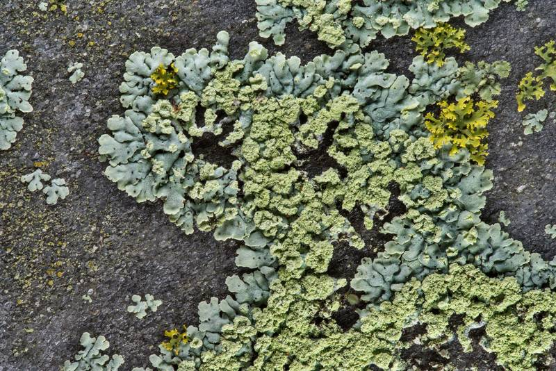 Rosette lichen (Physcia) on back of a grey marble tombstone in Boonville Cemetery. Bryan, Texas, January 27, 2019
