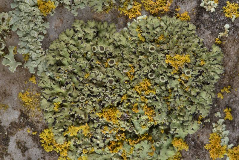 Powdered shadow lichen (Phaeophyscia hirsuta) with apothecia on marble in Boonville Cemetery. Bryan, Texas, January 27, 2019