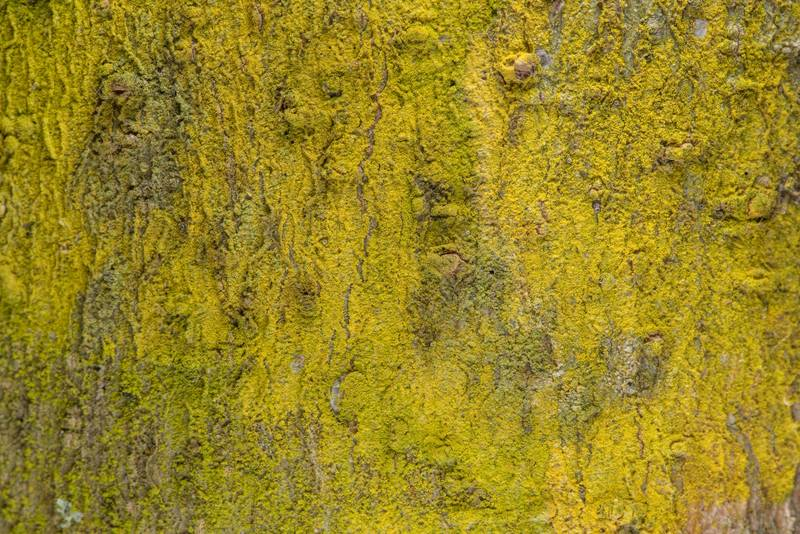 Gold dust lichen Chrysothrix xanthina on tree bark on Turkey Creek Trail. Bryan, Texas, January 29, 2019