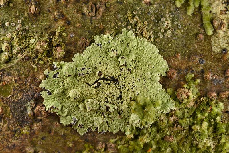 Buttoned rosette lichen (Pyxine)(?) in Big Creek Scenic Area of Sam Houston National Forest. Shepherd, Texas, February 1, 2019