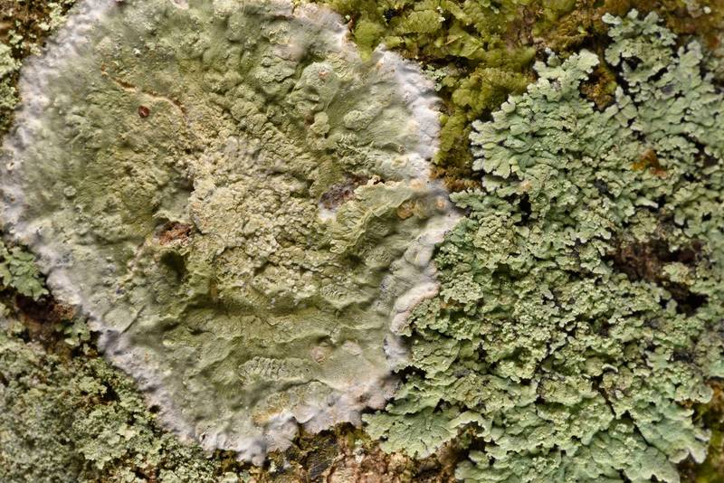 "Lichens Cryptothecia striata and <B>Phyllopsora pyxinoides</B> (Crocynia pyxinoides) on a tree in Big Creek Scenic Area of Sam Houston National Forest. Shepherd, Texas, <A HREF=""../date-en/2019-02-01.htm"">February 1, 2019</A>"