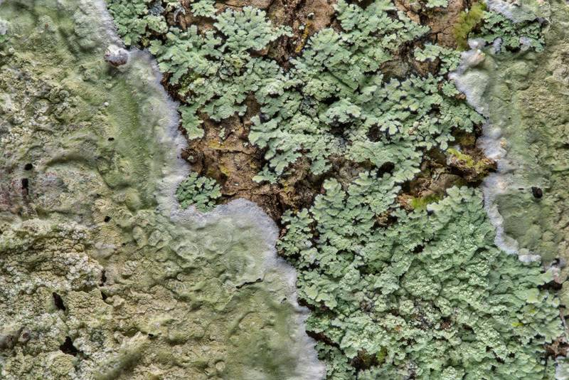 "<B>Phyllopsora pyxinoides</B> (Crocynia pyxinoides) and Cryptothecia striata lichens on a tree in Big Creek Scenic Area of Sam Houston National Forest. Shepherd, Texas, <A HREF=""../date-en/2019-02-01.htm"">February 1, 2019</A>"
