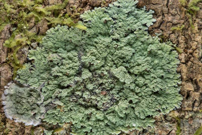 Lobed cotton lichen (Crocynia pyxinoides) on a tree near the creek in Big Creek Scenic Area of Sam Houston National Forest. Shepherd, Texas, February 1, 2019