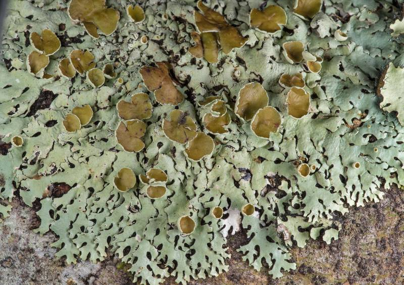 Wrinkled loop lichen (Hypotrachyna livida) in Big Creek Scenic Area of Sam Houston National Forest. Shepherd, Texas, February 1, 2019