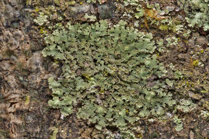Lichen Parmelinopsis minarum in Big Creek Scenic Area of Sam Houston National Forest. Shepherd, Texas, February 1, 2019