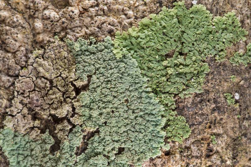 "Lobed cotton lichen (Crocynia pyxinoides, <B>Phyllopsora pyxinoides</B>) and a green foliose lichen in Big Creek Scenic Area of Sam Houston National Forest. Shepherd, Texas, <A HREF=""../date-en/2019-02-01.htm"">February 1, 2019</A>"