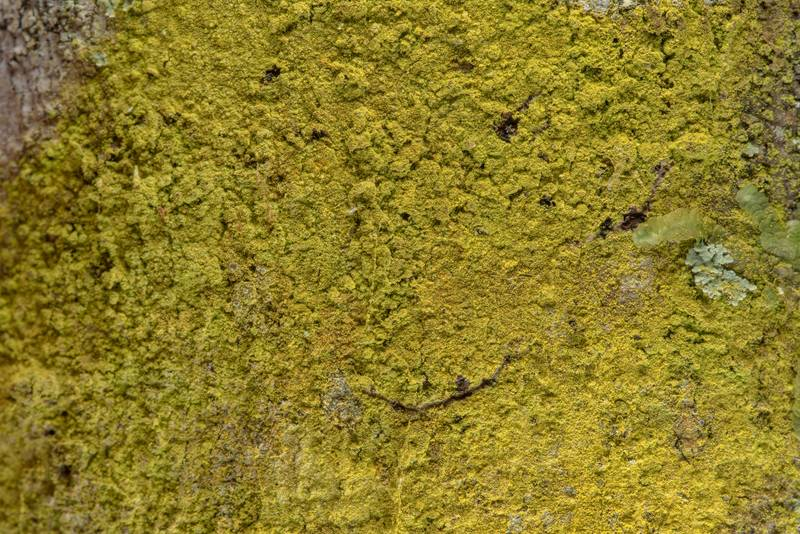 Golden dust lichen Chrysothrix xanthina on tree bark in Big Creek Scenic Area of Sam Houston National Forest. Shepherd, Texas, February 1, 2019