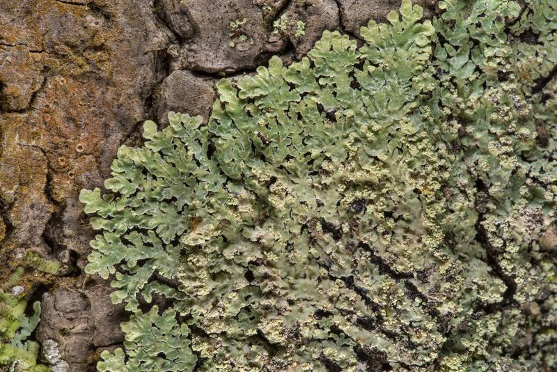 Physcia lichen on tree bark in Big Creek Scenic Area of Sam Houston National Forest. Shepherd, Texas, February 1, 2019